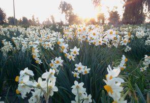 خوزستان زیبا / نرگس زارهای بهبهان